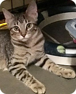 Domestic Shorthair Kitten for adoption in Metairie, Louisiana - Jessie - Adorable Brown Tabby