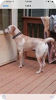 Labrador Retriever Mix Dog for adoption in Acworth, Georgia - Demie