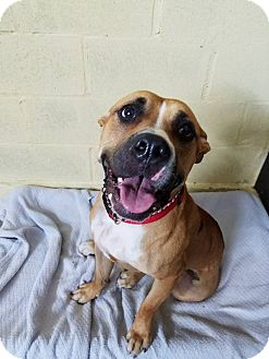 American Bulldog Mix Dog for adoption in Long Beach, New York - Jade