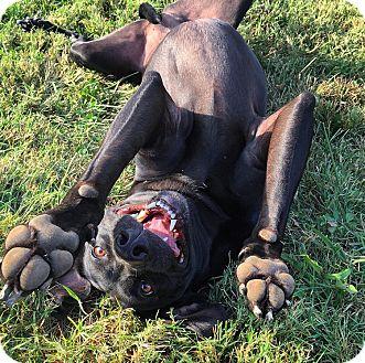 Weimaraner/Labrador Retriever Mix Dog for adoption in Russellville, Kentucky - Glacier
