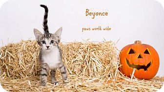 Domestic Shorthair Kitten for adoption in Corona, California - BEYONCE