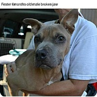 American Staffordshire Terrier Mix Dog for adoption in Whitestone, New York - Fester