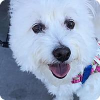 Adopt A Pet :: Boomer - North Las Vegas, NV