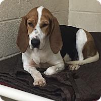 Coonhound Mix Dog for adoption in Greensburg, Pennsylvania - Bristol