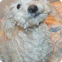 Adopt A Pet :: Snowball - Peyton, CO