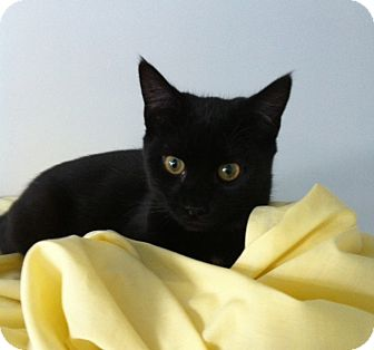 Domestic Shorthair Cat for adoption in Jenkintown, Pennsylvania - Clarissa