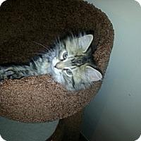 Adopt A Pet :: Sasuke - Cranford/Rartian, NJ