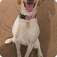 Adopt A Pet :: capris - Scottsdale, AZ