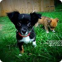 Adopt A Pet :: Fudgie - Gadsden, AL