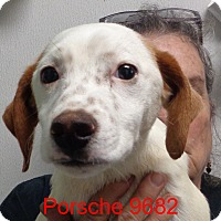 Adopt A Pet :: Porsche - baltimore, MD