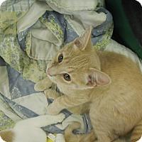 Adopt A Pet :: Creamsicle - Medina, OH