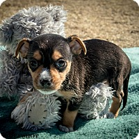 Adopt A Pet :: Fred - Phoenix, AZ