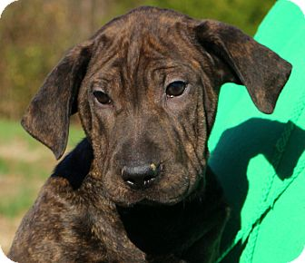 Shar Pei Great Dane Mix Puppy For Adoption In Glastonbury Connecticut Rolly Polly