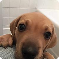 Adopt A Pet :: Luna - Windermere, FL