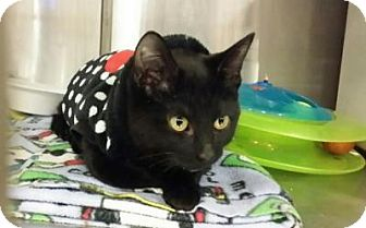 Domestic Shorthair Kitten for adoption in Chicago, Illinois - Meenie