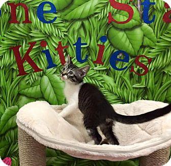 Domestic Shorthair Kitten for adoption in Hurst, Texas - Jerome