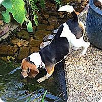 Adopt A Pet :: Jeannie - Houston, TX