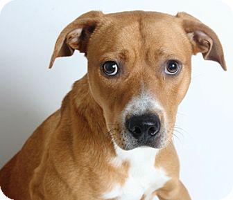 Pit Bull Terrier Mix Dog for adoption in Redding, California - Tanner