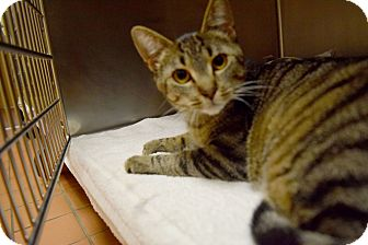 Domestic Shorthair Cat for adoption in Bay Shore, New York - Jax