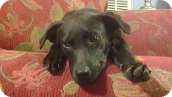 Labrador Retriever Mix Puppy for adoption in fayetville, North Carolina - Lisa Needs foster for recovery