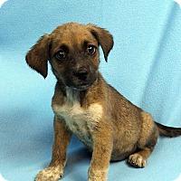Adopt A Pet :: DAWN - Westminster, CO