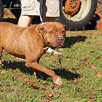Pit Bull Terrier Dog for adoption in Dawson, Georgia - Rosie