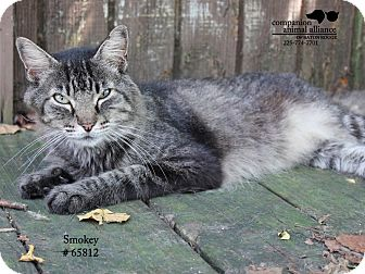 Domestic Mediumhair Cat for adoption in Baton Rouge, Louisiana - Smokey