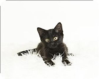 Domestic Shorthair Kitten for adoption in Troy, Virginia - Aries