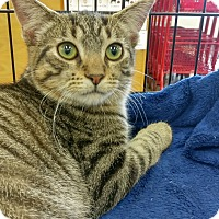 Domestic Shorthair Kitten for adoption in Columbus, Ohio - Chopin