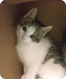 Domestic Shorthair Kitten for adoption in East Brunswick, New Jersey - Mario