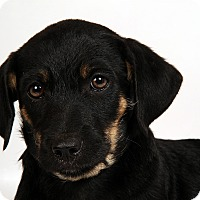 Adopt A Pet :: Tipper Terrier Mix - St. Louis, MO