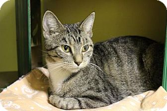 Domestic Shorthair Cat for adoption in West Des Moines, Iowa - Livia