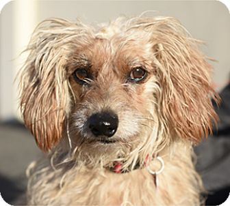 Dachshund/Poodle (Miniature) Mix Dog for adoption in Pt. Richmond, California - CHARLIE TRULY