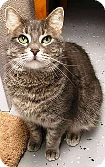 Domestic Shorthair Cat for adoption in Kalamazoo, Michigan - Patches