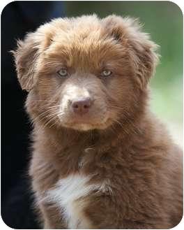 Lola | Adopted Puppy | Providence, RI | Newfoundland/Australian ...