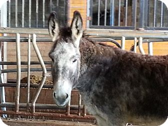 Donkey/Mule/Burro/Hinny Mix for adoption in Newcastle, California - shadow