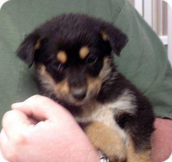 German Shepherd Dog Mix Puppy for adoption in baltimore, Maryland - lancelot