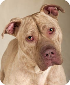 American Pit Bull Terrier/Bulldog Mix Dog for adoption in Chicago, Illinois - Zack