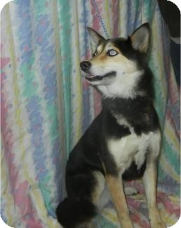 Siberian Husky Dog for adoption in Antioch, Illinois - Cindy Pawford  ADOPTED!!