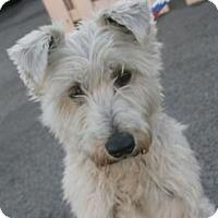 Adopt A Pet :: Lil Dude - Canoga Park, CA