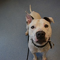 Adopt A Pet :: Yahtzee - Bay Shore, NY