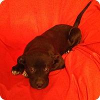 Adopt A Pet :: Gidget - Hillsboro, IL
