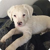 Adopt A Pet :: Bering - Henderson, NV