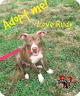 American Pit Bull Terrier Mix Puppy for adoption in South Mills, North Carolina - Rudy