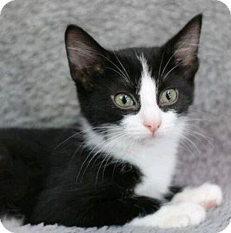 Domestic Shorthair Kitten for adoption in Raleigh, North Carolina - Leya Cricket
