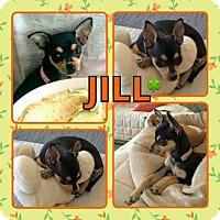 Chihuahua Mix Puppy for adoption in Scottsdale, Arizona - Jill