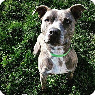 Pit Bull Terrier Mix Dog for adoption in Centerburg, Ohio - Kayto