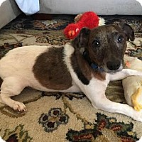Jack Russell Terrier Mix Dog for adoption in Gainesville, Florida - Milo