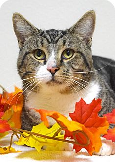 Domestic Shorthair Cat for adoption in Dublin, California - Johnny