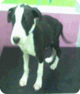 Labrador Retriever Mix Puppy for adoption in Fort Collins, Colorado - Jack